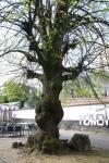 Vieil arbre de l'hospital